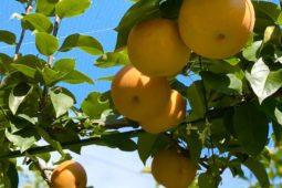 研修✩梨狩り体験と梨食べ比べ